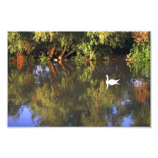 Elegant  White Swan on Lake - Nature Photography Photo Print