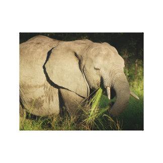 Elephant african bull eating grass Kruger Park Canvas Prints