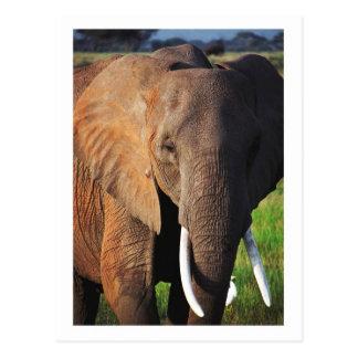 Elephant at Amboseli National Park, Kenya Postcard