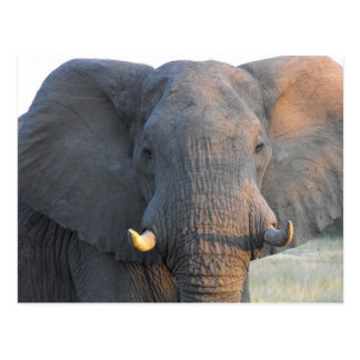 Elephant close Up Postcard