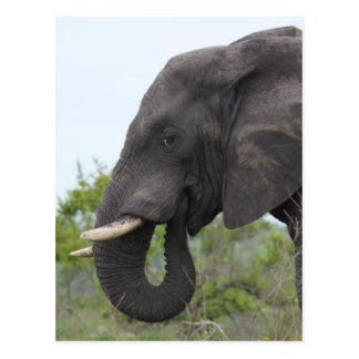 Elephant Eating Postcard