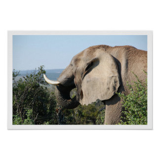 Elephant Eating, South Africa Poster