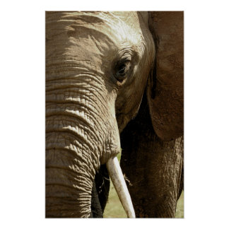 Elephant Face Poster