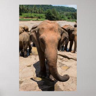 Elephant group portrait, Sri lanka Poster