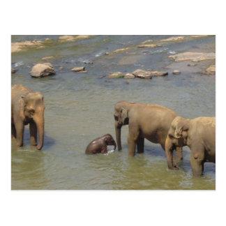 Elephant Herd  Postcard