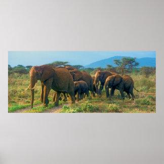Elephant Herd Walking Poster