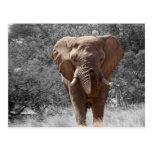 Elephant in Namibia Postcard