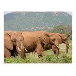 Elephant in the savannah, Samburu, Kenya, Africa Postcards