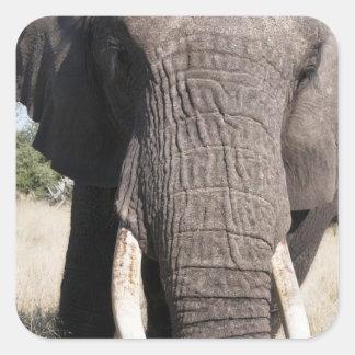 Elephant (Loxodonta africana), Abu Camp 3 Square Sticker
