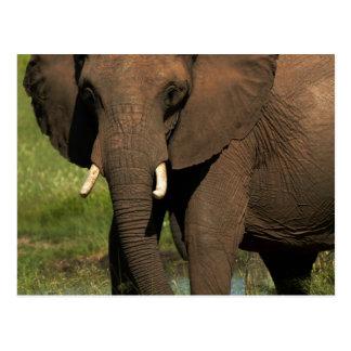 Elephant (Loxodonta Africana), Hwange National Postcard