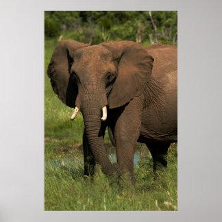 Elephant (Loxodonta Africana), Hwange National Poster