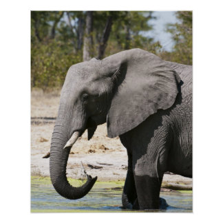 Elephant (Loxodonta africana), Savute Channel Poster