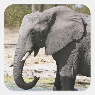 Elephant (Loxodonta africana), Savute Channel Square Sticker