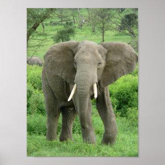 Elephant near Ndutu Poster