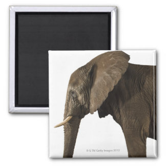 Elephant on white background, side view refrigerator magnets