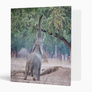 Elephant reaching for Acacia tree 3 Ring Binder