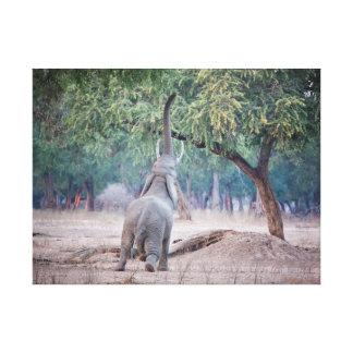 Elephant reaching for Acacia tree Canvas Print