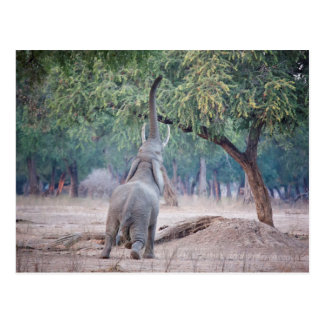 Elephant reaching for Acacia tree Postcard
