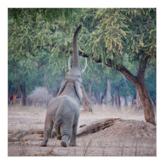 Elephant reaching for Acacia tree Poster