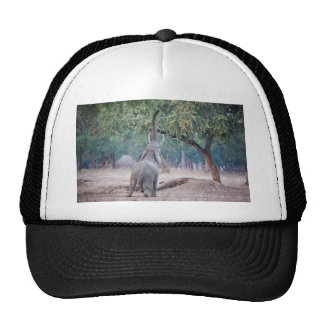 Elephant reaching for Acacia tree Trucker Hat