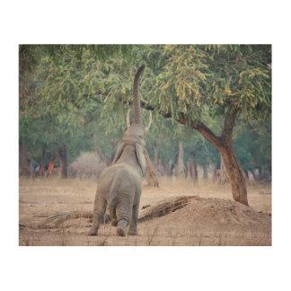 Elephant reaching for Acacia tree Wood Wall Art
