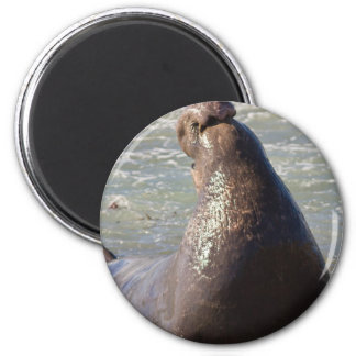 Elephant Seal 2 Inch Round Magnet