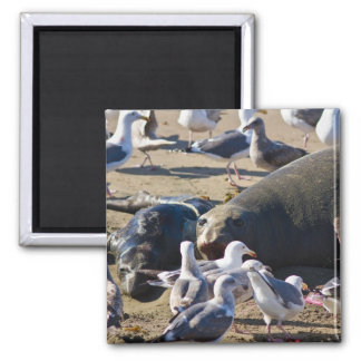 Elephant Seal 2 Inch Square Magnet