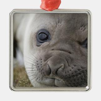 Elephant seal Mirounga leonina) cub in the Metal Ornament