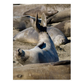 Elephant Seal Postcard