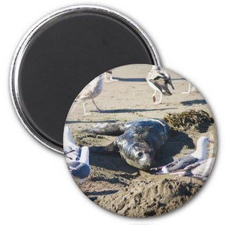 Elephant Seal Pup 2 Inch Round Magnet