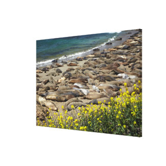 Elephant Seal Rookery Canvas Print