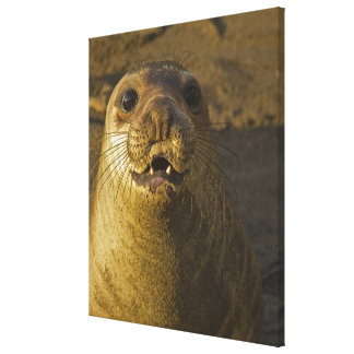 Elephant seal rookery near San Simeon in Big Canvas Print