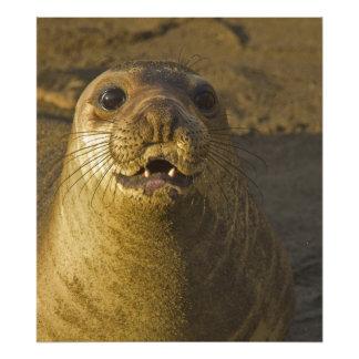 Elephant seal rookery near San Simeon in Big Photo Print
