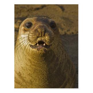 Elephant seal rookery near San Simeon in Big Postcard