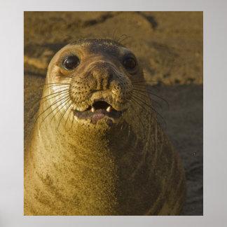 Elephant seal rookery near San Simeon in Big Poster