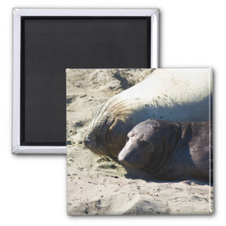 Elephant Seals 2 Inch Square Magnet
