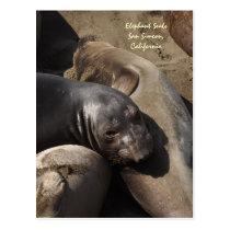 Elephant Seals, San Simeon, California Postcard