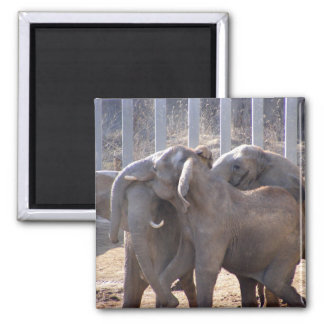 Elephants at Play Magnets