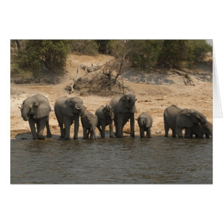 Elephants Drinking from Chobe River Greeting Card