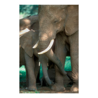 Elephants Protecting Young Poster