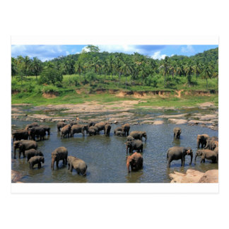 Elephants Sri Lanka Postcard