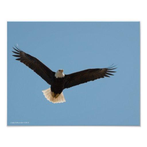 ¡elevación de 11X14 Eagle calvo! Fotografia