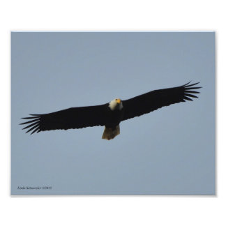 elevación de 8X10 Eagle calvo Cojinete