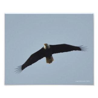 elevación de 8X10 Eagle calvo Fotografías
