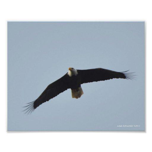elevación de 8X10 Eagle calvo Impresión Fotográfica