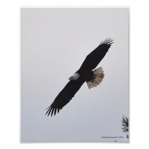 ¡elevación de 8X10 Eagle calvo! Fotografía