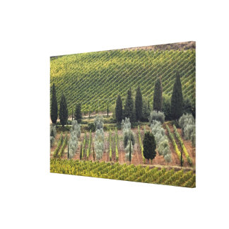 Elevated view of vineyard and olive trees canvas print