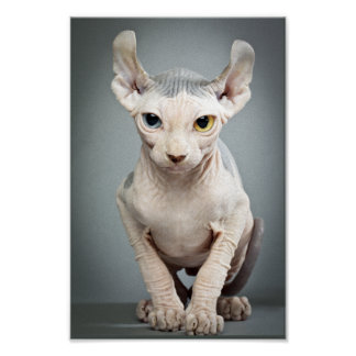 Elf Sphinx Cat Photograph Poster