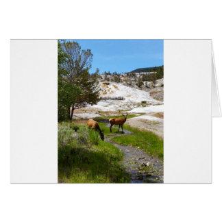 Elk at Mammoth Hot Springs Card