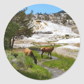 Elk at Mammoth Hot Springs Classic Round Sticker